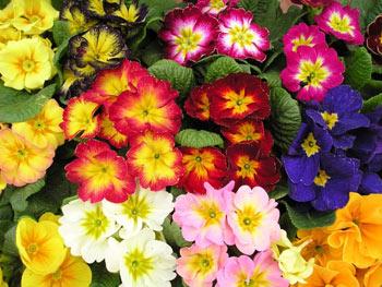 Primula il giardino - Fiori da esterno ...